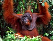 View the image: Male orang utan, Borneo, 2007
