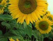 View the image: Sunflowers, Arles, 1992